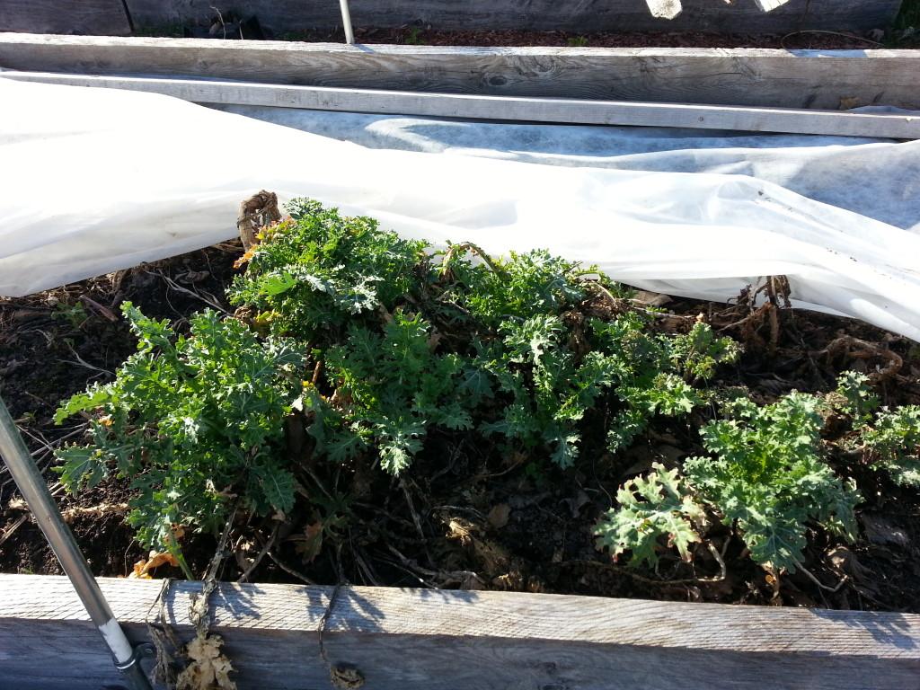 Spring kale comes back
