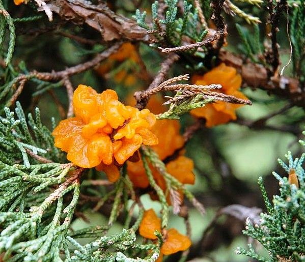 Cedar Apple Rust Fungus