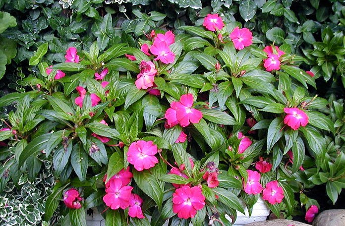 New guinea impatiens source tip exeter area garden club for New guinea impatiens