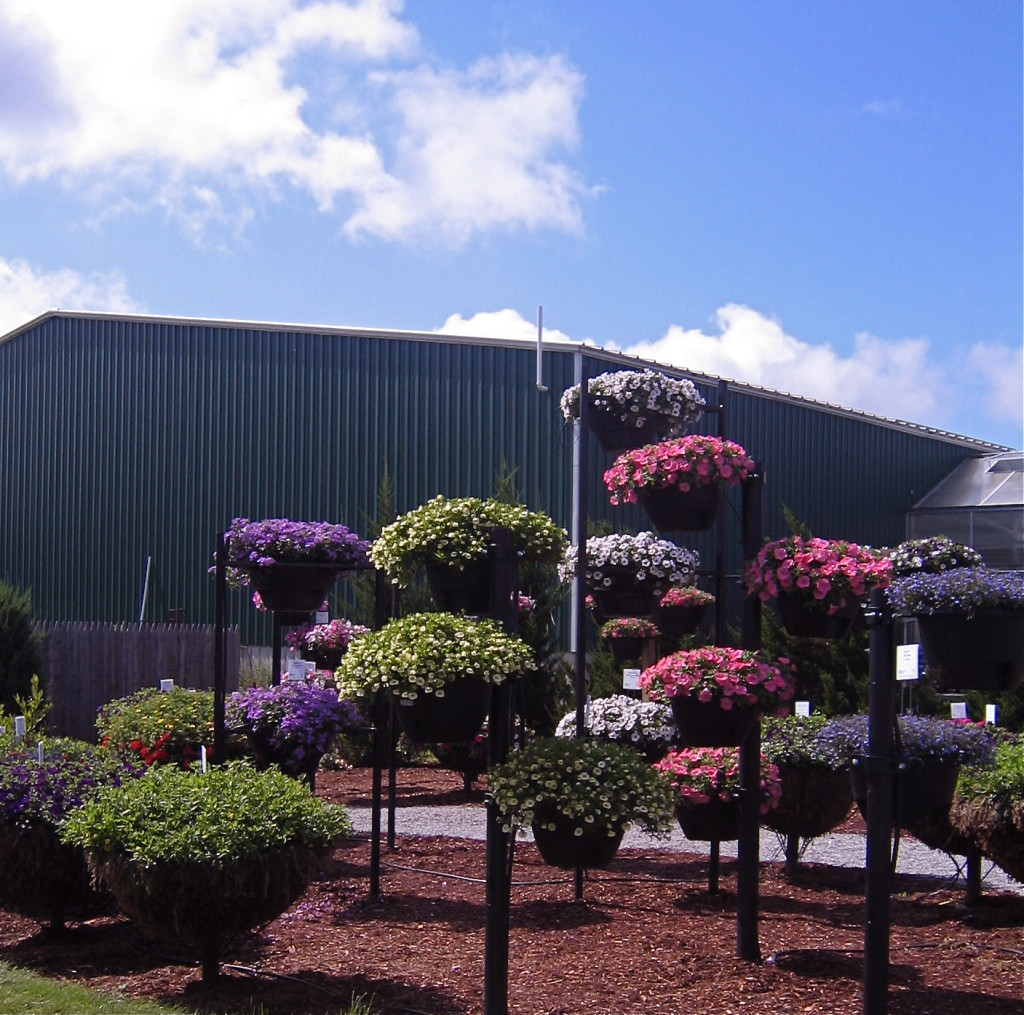Impressive hanging basket display in front of the factory sized greenhouse.