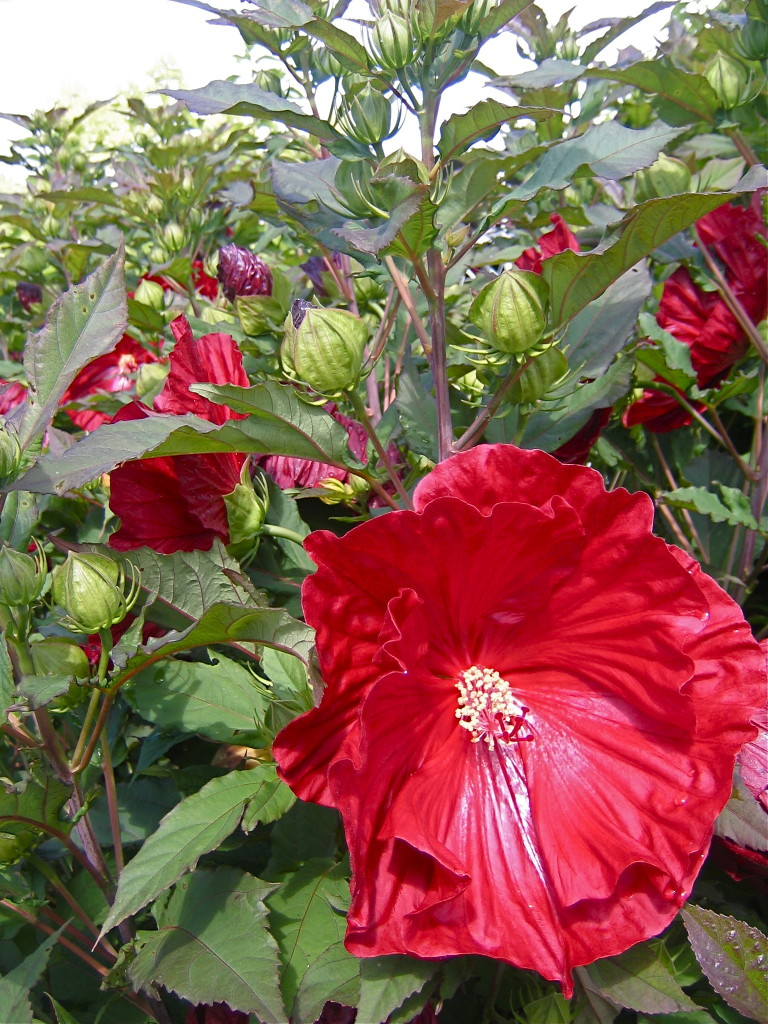 Here's a giant hibiscus called Cranberry Crush.