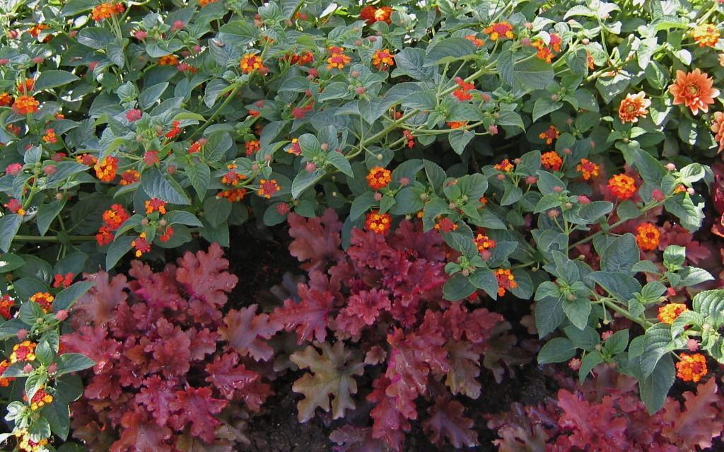 Beautiful coleus & verbena