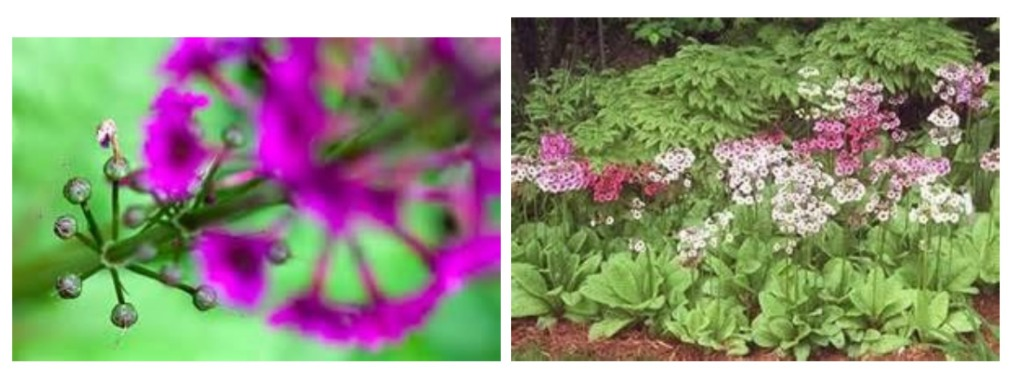 Japanese Primrose Primula japonica