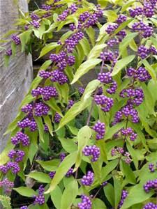 callicarpa-dichotoma-beautybush
