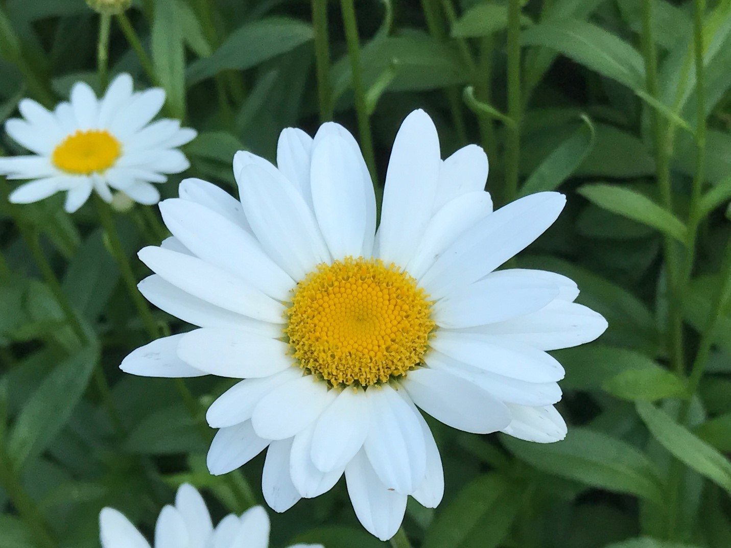 Golden Wood Oxeye Daisy Decoration Blanks Sizes Selection